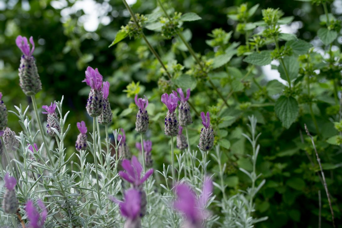 Edible flowers: lavander blooms