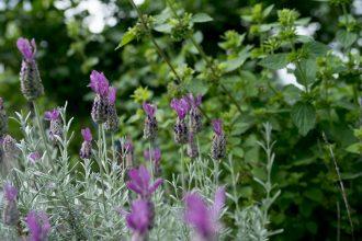 Edible flowers: lavander blooms