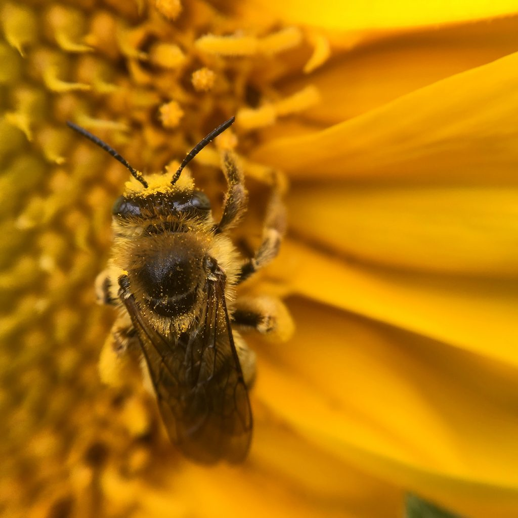 bee on yellow flower, an edible paradise