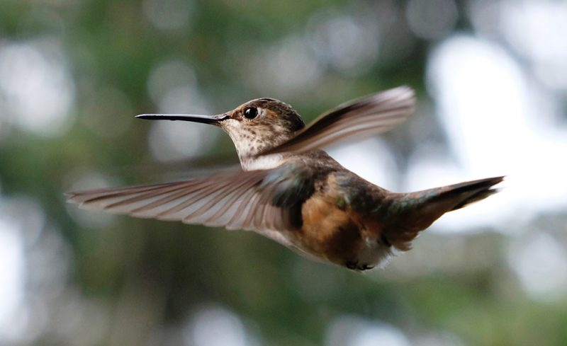 Flying hummingbird