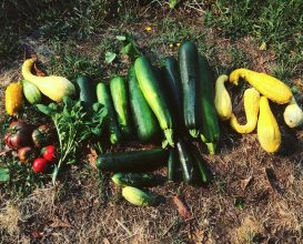 Vegetable garden bounty: succhinis, cucumbers, squash, vine tomatoes, basil.