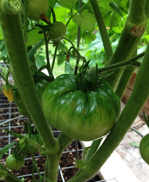 Green tomato in the vine