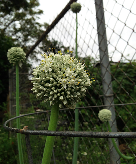 Onion blooms
