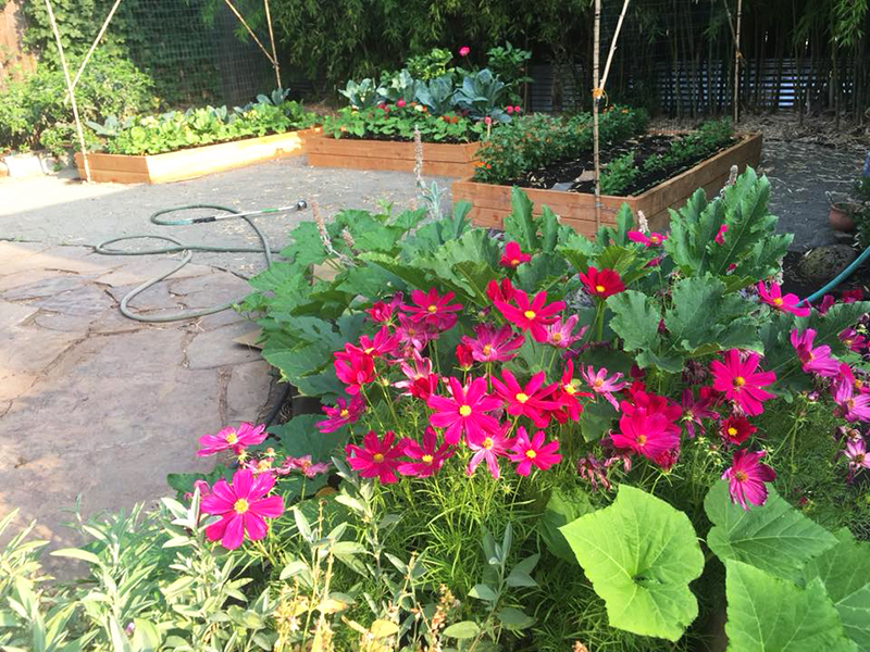 raised bed with red flowers and brassicas in the background