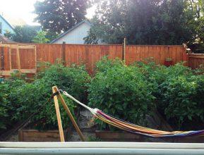 Lovely tomatoe vines and hammock