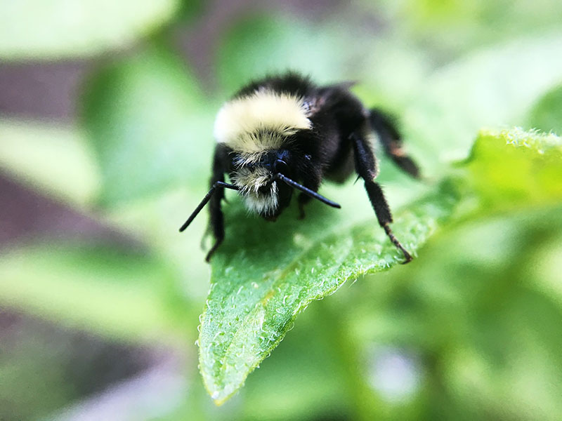 Bumble bee on a leaf