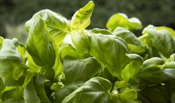pdxfam lovely home-grown basil