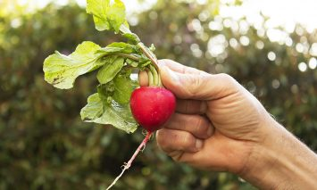 pdx.farm employee holding a red radish